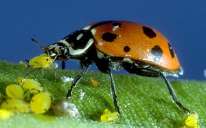 mariquita-comiendo-pulgones-foto-macro-hoja-depredador-insecto-carnivoro